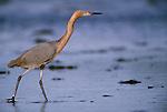Great egret, Florida