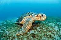 Loggerhead Sea Turtle, Caretta caretta, rests on the ocean bottom offshore Palm Beach County, Florida, Atlantic