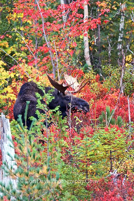#M50 Bull Moose Amongst Autumn Foliage