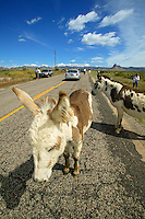 Visitors with wild burros on the road, near Oatman, Arizona