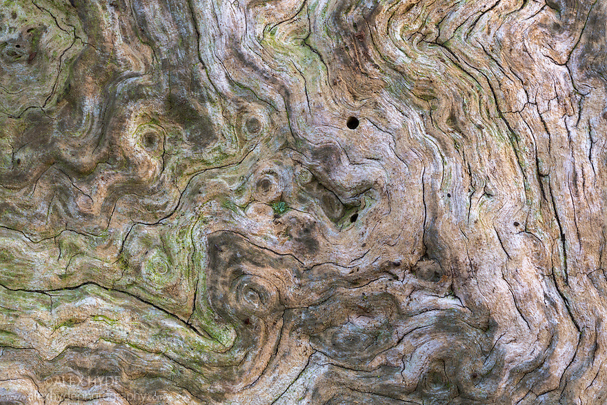 Close up of a veteran English Oak tree {Quercus robur}, showing area of dead wood that is an imporant habitat for a huge range of invertebrates. Sherwood Forest National Nature Reserve, Nottinghamshire, UK. November.