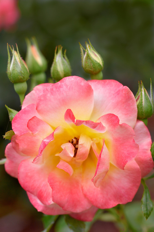 Hardolly Rose. Heirloom Gardens. Oregon