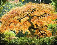 Japanese Maple in the Portland Japanese Garden backlit by the sunshine with Fall colors