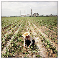 A farmer weeds a cotton field in China's western Xinjiang Province.