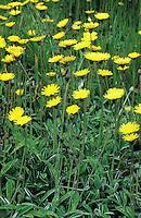 Kleines Habichtskraut, Kleines Habichtkraut, Mäuseohr, Hieracium pilosella, Mouse Ear Hawkweed