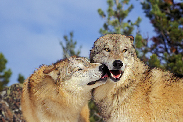 Gray Wolves (Canis lupus) greeting--social/dominance behavior