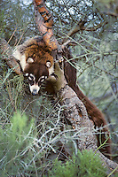 Coati or Coatimundi resting in tree in southern Arizona.