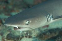 White Tip Reef Shark Portrait, Triaenodon obesus, Yap, Micronesia, Pacific Ocean