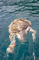 Dead green turtle, Chelonia mydas, floating on the surface, probably killed as a product of bycatch, Mergui archipelago, Andaman sea, Indian Ocean, Burma / Myanmar, Asia