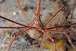Arrow crab with eggs, (yellow line arrow crab);Stenorhynchus seticornis,  Blue Heron Bridge, Lake Worth Inlet, Florida, USA, Amazing Underwater Photography, Marine behavior, 8-16-12-152nt