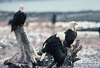 Bald Eagle's on a winter day in Alaska.