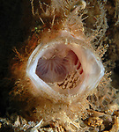 Striated Frogfish, Antennarius striatus