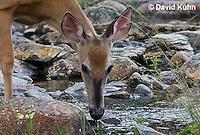 0623-1021  Northern (Woodland) White-tailed Deer Drinking Water, Odocoileus virginianus borealis  © David Kuhn/Dwight Kuhn Photography