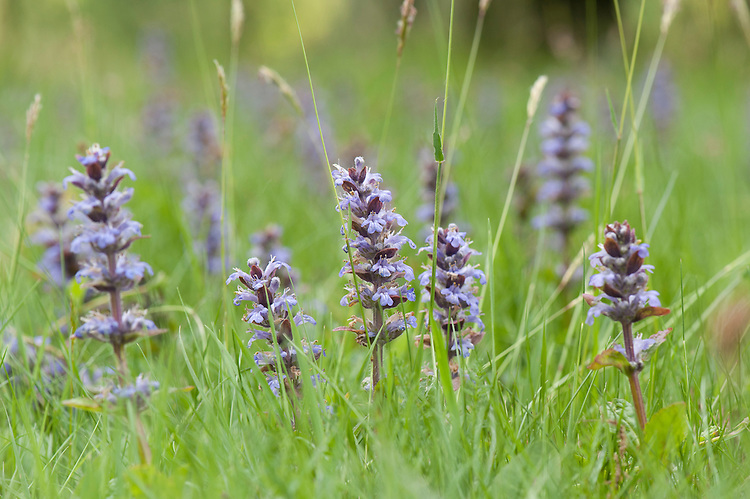 Bugle (Ajuga reptans), Sussex grassland, early May.
