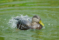 American Black Duck (Anas rubripes)