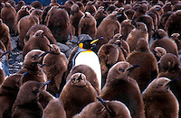 King Penguins<br />Adult King Penguin among chicks.<br />Animals - Antartica<br />Ample Bay / South Georgia<br />© Explorer-Images / Jay Watson