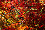 Leaves of unknown tree in red and gold, Washington Park Arboretum, Seattle, WA