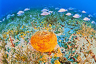 orange ball sponge, Cinachyra sp., and schooling white gunts, Haemulon plumieri, off Tampa, Florida, USA, Gulf of Mexico, Caribbean Sea, Atlantic Ocean