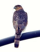 Adult sharp-shinned hawk