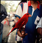 August 2000. Jakarta, Indonesia. A wild parrot from the Malukku islands is for sale on Jalan Balito in Jakarta. The parrot is endangered and since Suhartos downfall the endangered animal business has proliferated because of government corruption and inability to police the industry.