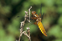 Plattbauch, Weibchen, Plattbauch-Libelle, Plattbauchlibelle, Libellula depressa, Broad-bodied Chaser, Broadbodied Chaser, broad bodied chaser