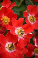Rosa 'Eyepaint', Handpainted Rose, red flower blossom Shrub Rose