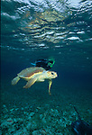 Snorkeler interacting with sharks, stingrays and turtles at Shark Ray Alley, Ambergris Caye, Belize