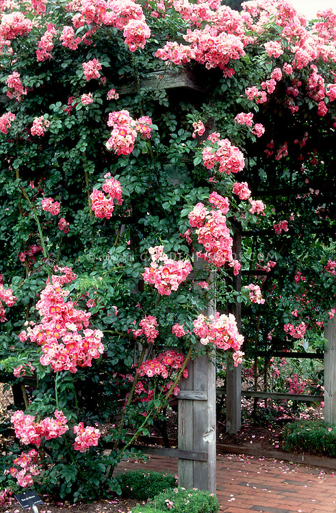 Rosa American Pillar climbing rose over trellis, pink flowers, bench arbor, rambling roses
