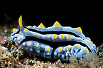 Lembeh Strait, Indonesia; a blue and yellow Phyllidia varicosa nudibranch moving slowly across the sea floor