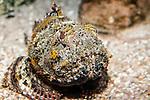 Gulf Toadfish facing camera 3/4 body view