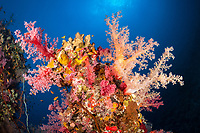 coral reef scene with soft coral, Dendronephthya sp., Port Sudan, Sudan, Red Sea, Indian Ocean