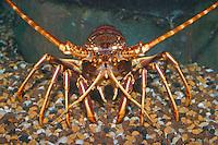Europäische Languste, Stachelhummer, Palinurus elephas, Palinurus vulgaris, common crawfish, European spiny lobster, langouste