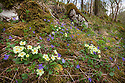 Primroses {Primula vulgaris} and Common Dog Violets {Viola riviniana} flowering in woodland clearing, Yorkshire Dales National Park, UK. April.