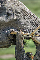 A close up of an African bush elephant (Loxodonta africana), aka African savanna elephant eating in Maasai Mara National Reserve , Kenya