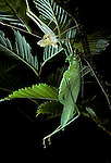 Angular-winged katydid moulting  Orthoptera  Microcentrum retinerve  Note cast exo skin Insect<br />