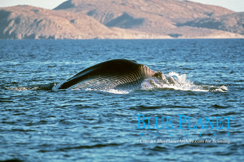 adult fin whale, Balaenoptera physalus, surface lunge feeding in open water, Sonora, Mexico, Sea of Cortez, Pacific Ocean