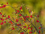 Winterberry growing in northern Wisconsin.