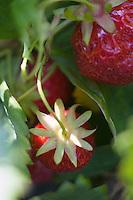 """Europe/France/Bretagne/35/Ille et Vilaine/Saint-Méloir-des-Ondes: Mr Pichot récolte ses fraises Maras des Bois """" Les Petits fruits rouges de la baie Mr Pichot  à Clossets"""