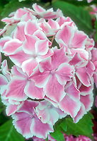 Picotee bicolor pink and white garden hydrangea flowers variety 'Wedding Ring' can be pink or blue, reblooming shrub