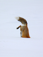 """A red fox dives under the snow to catch its prey in a technique called """"mousing"""" at Yellowstone National Park, Wyoming"""