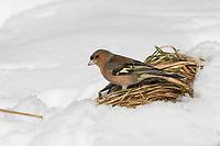 Buchfink, Buch-Fink, Männchen im Winter bei Schnee, Fringilla coelebs, chaffinch, common chaffinch, male, Le Pinson des arbres