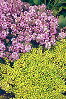 Thymus, one in pink bloom, one gold foliage type, herb thymes