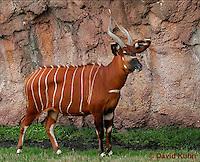 0209-08yy  Bongo Antelope, Tragelaphus euryceros © David Kuhn/Dwight Kuhn Photography