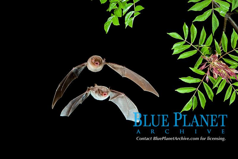 Long-fingered Bat (Myotis capaccinii) and Bent-wing Bat, Schreibers' Long-fingered Bat or Schreibers' Bat (Miniopterus schreibersii) in flight, North Bulgaria, Bulgaria, Europe