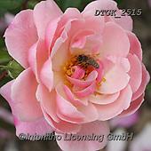Gisela, FLOWERS, BLUMEN, FLORES, photos+++++,DTGK2515,#f#, EVERYDAY ,rose,roses