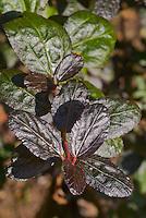 Ceanothus 'Tuxedo' black leaved foliage shrub