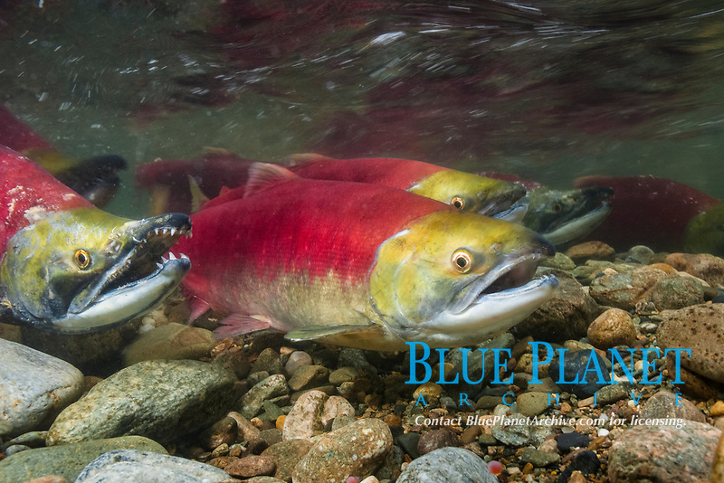 Sockeye salmon, swimming upstream in the shallow waters of the Adams River. When they reach the place where they hatched from eggs four years earlier, they will spawn and die.