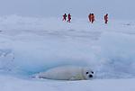 Harp Seal, and tourists, Iles de la Madeleine, Quebec, Canada