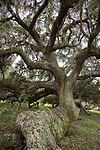 Brazoria County, Damon, Texas; under the canopy of a massive live oak tree whose trunk runs along the ground after being knocked down in a storm early in its life