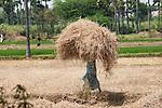 fields, india, straw,hay, on head, balance, hard job, hard worker,